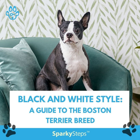 Black and White Style A Guide to the Boston Terrier Breed