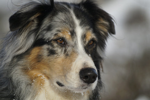 Sparky Steps - Australian Shepherd - Photo from Pixabay.com
