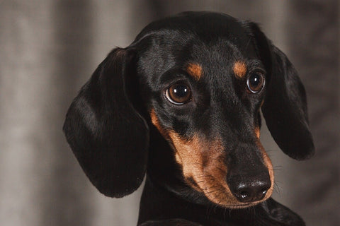 Dachshund - Picture from Pixabay.com
