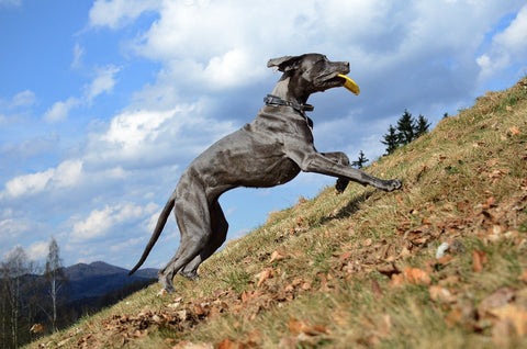 Article - Sparky Steps Chicago Pet Sitters - Great Dane