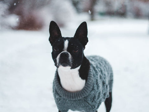 Owning a Boston Terrier Breed