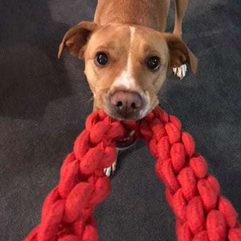 dog playing tug with red rompidogz rope toy
