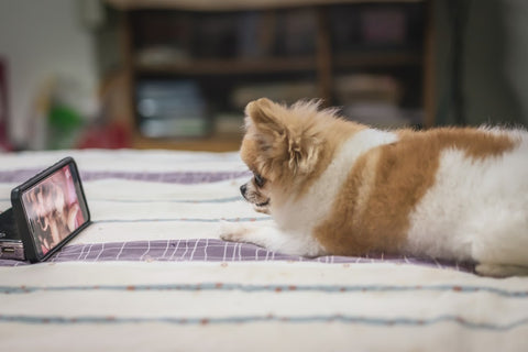 small dog watching video on ipad