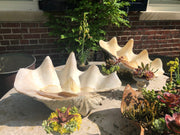 Giant Clam Shells - pair