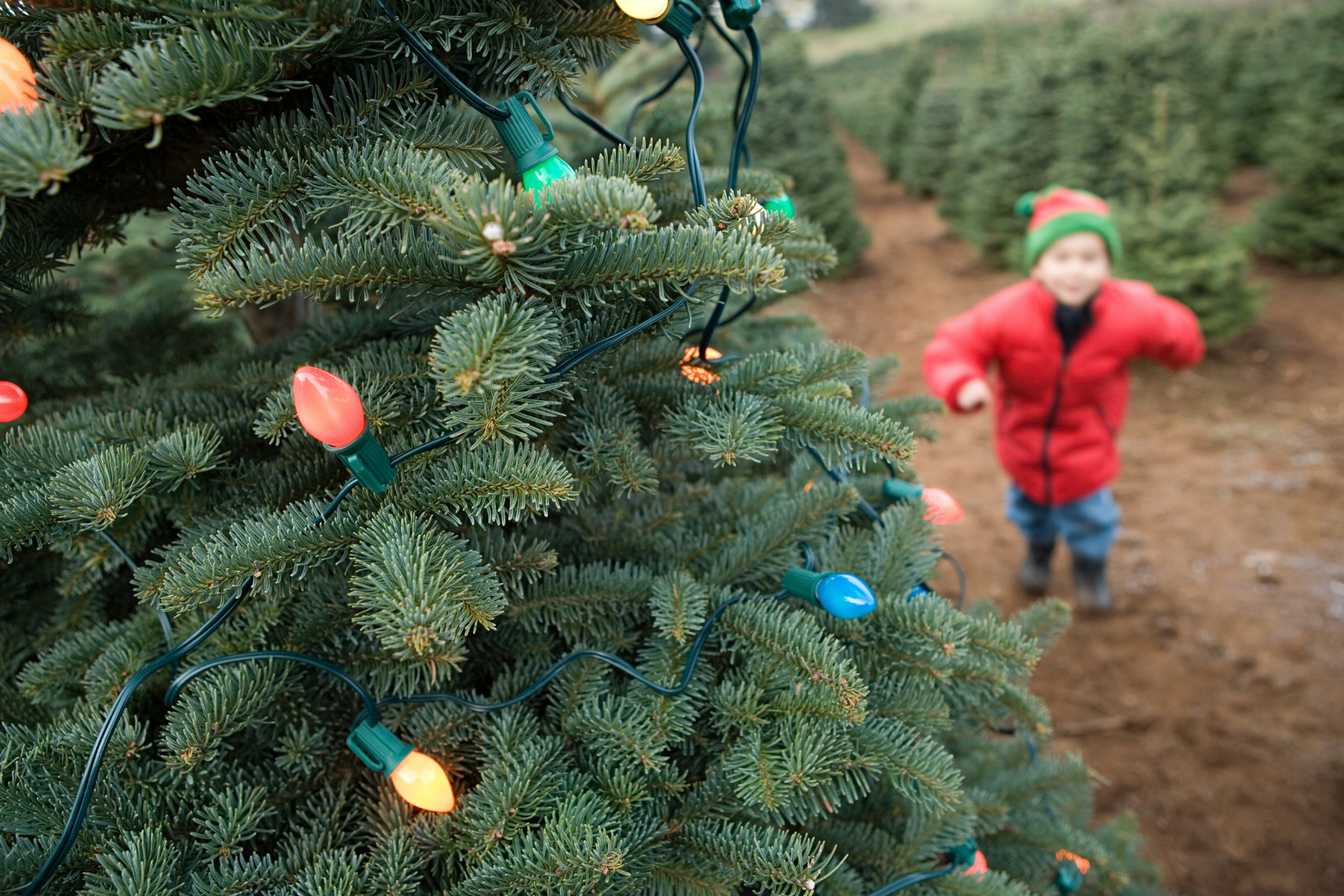 How Sustainable is Your Christmas Tree?