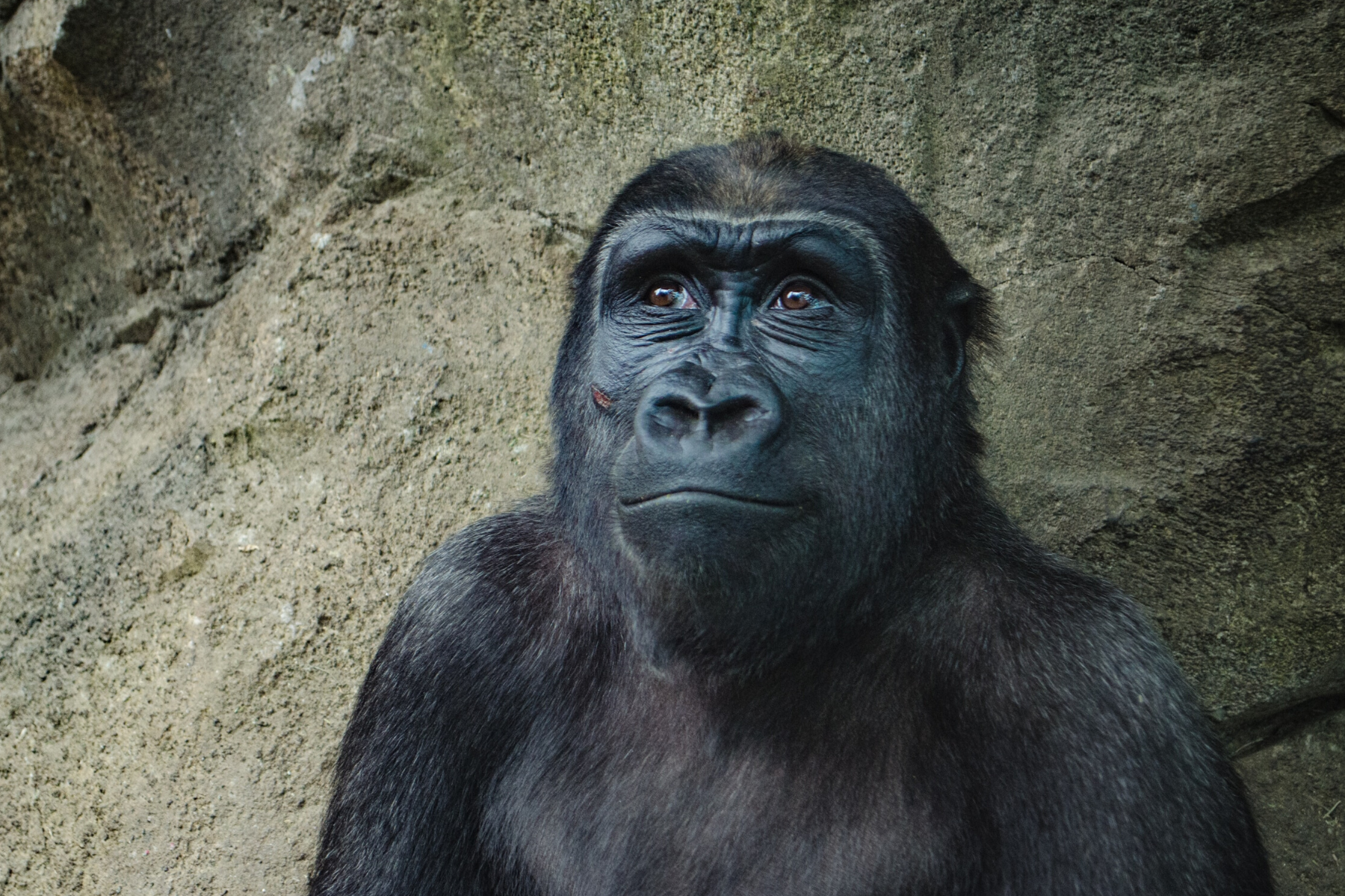 Black gorilla sitting in front of rock smiling and looking up