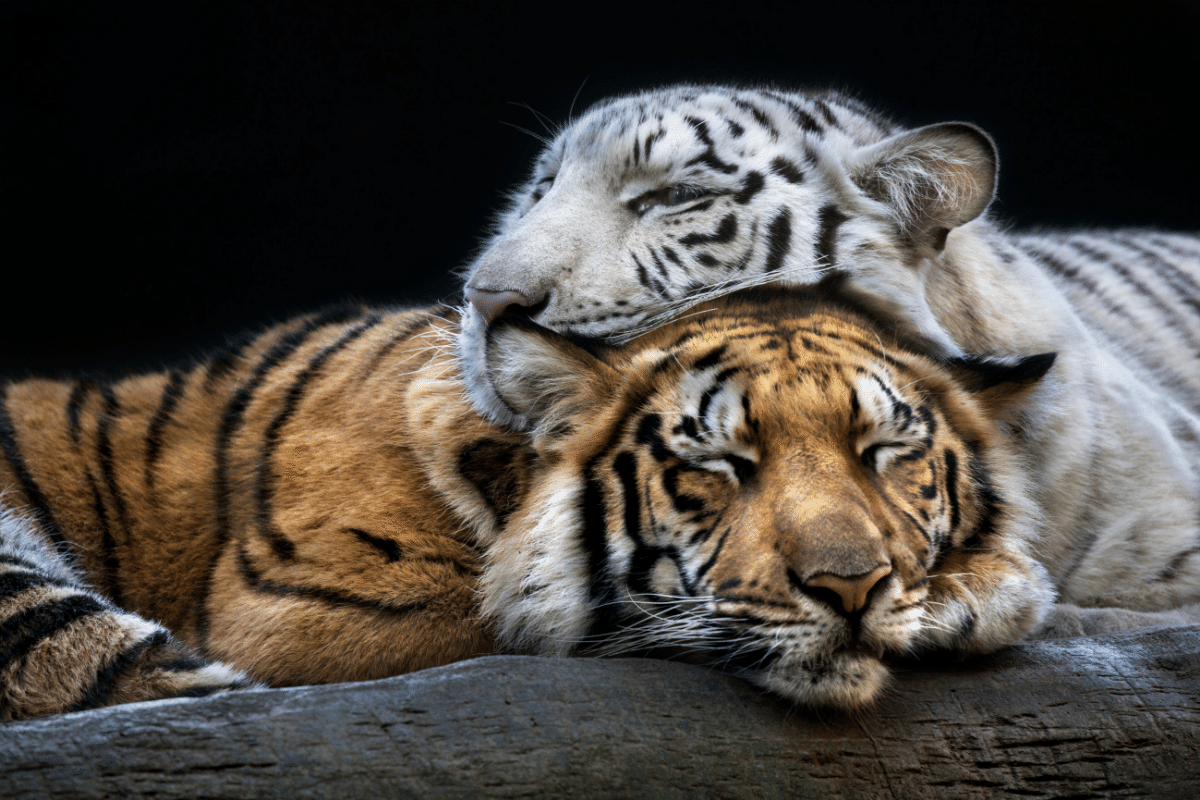 two tigers sleeping on each other
