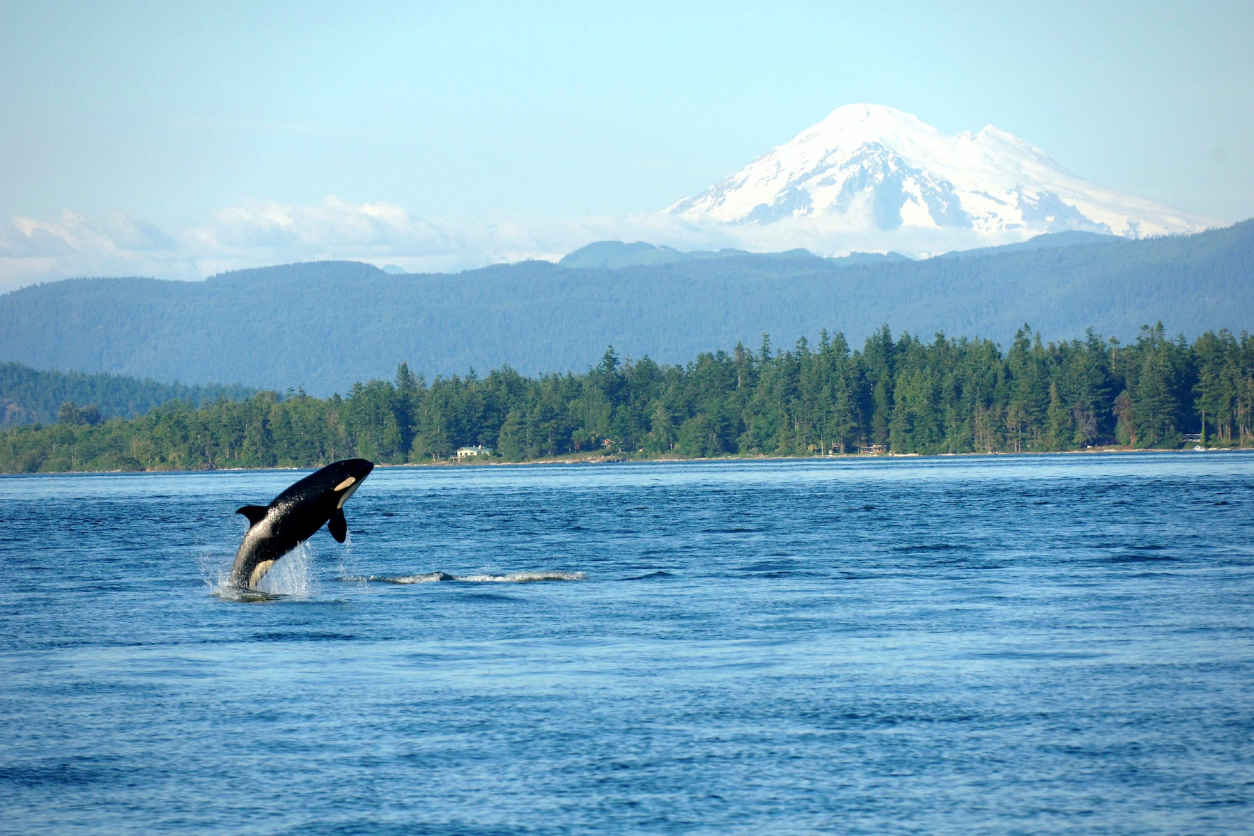 orca jumping in the pacific northwest