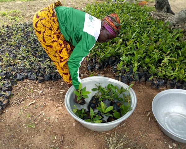 Plant Trees In Ghana One Tree Planted