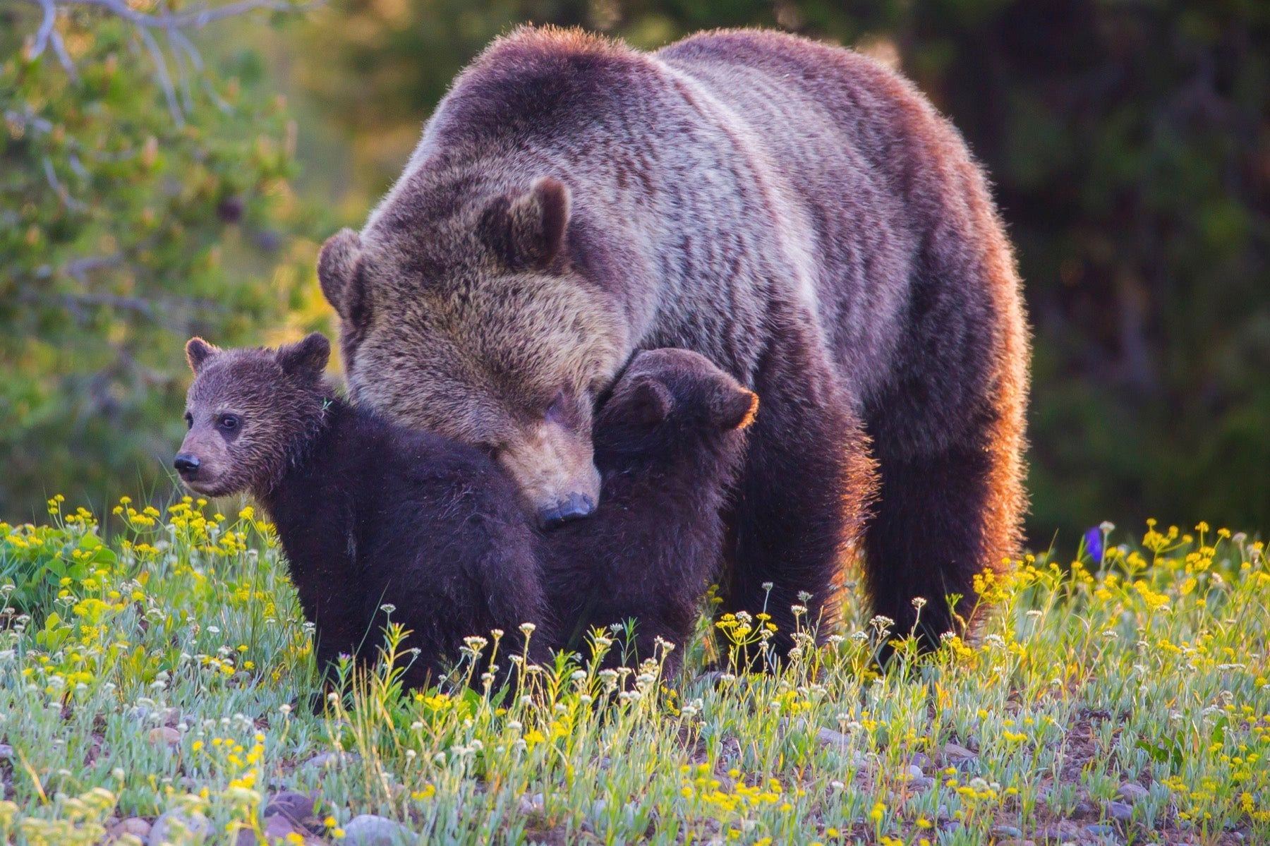 mama bear cubs forest meadow