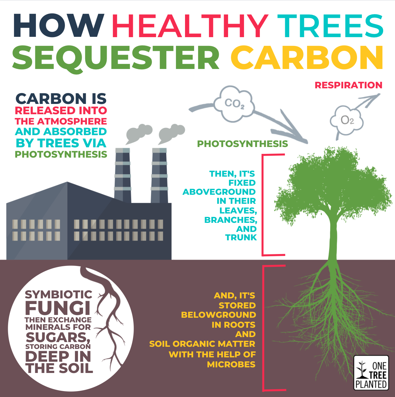 How trees absorb carbon