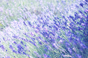 Lavender and other fire-resistant plants