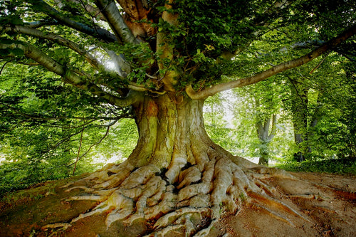 majestic old growth tree