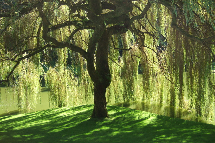 Willow Tree - The Observer