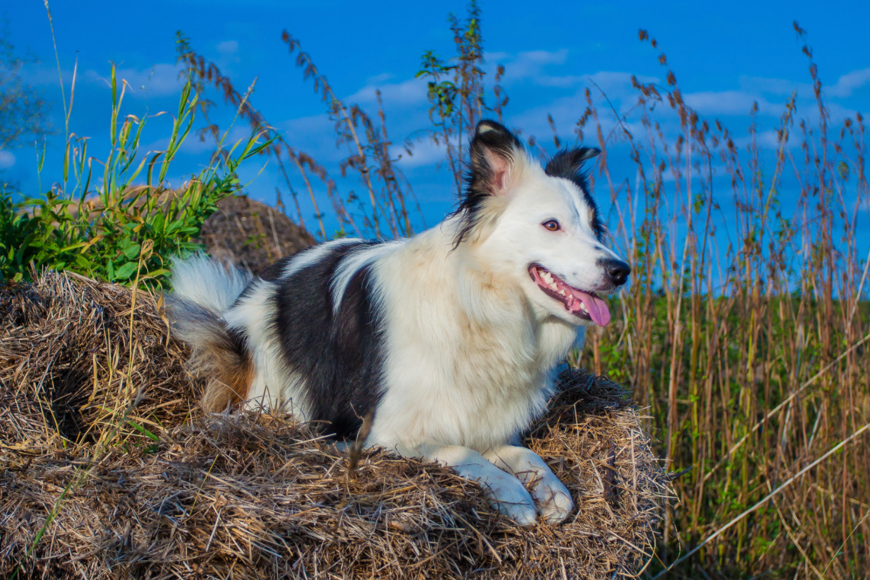 border collie in nature