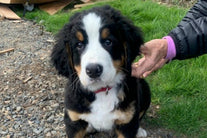 bernese mountain dog puppy earth day