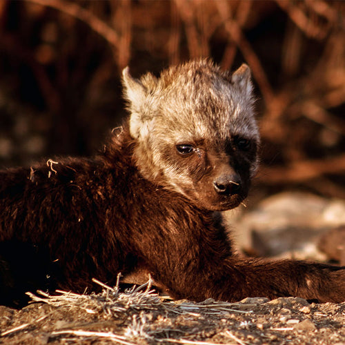 Protecting Leopard & Hyena Populations