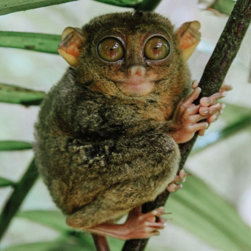 close up of a philippine tarsier