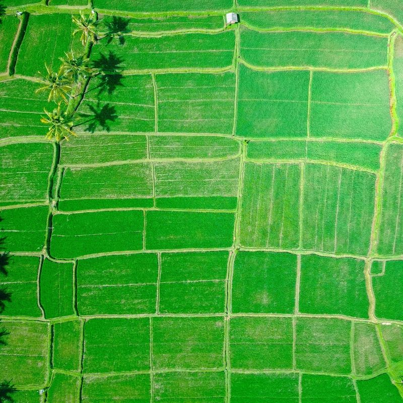 Aerial view of green rice paddy field