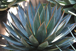 Agave 'Blue Glow'