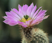 Load image into Gallery viewer, Echinocereus websterianus
