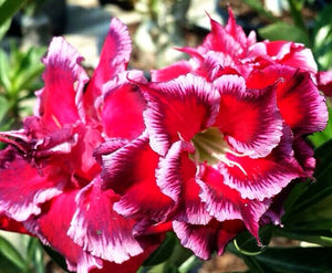 Adenium 'Fishtail' *Big Plant!* Grafted Hybrid (8a)