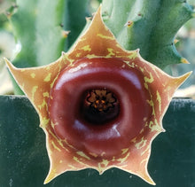 Load image into Gallery viewer, Huernia zebrina 'variegata' Variegated