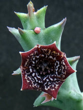 Load image into Gallery viewer, Orbea carnosa ssp. keithii