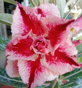 Adenium 'Pink Lady' Grafted hybrid (8)