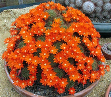 Load image into Gallery viewer, Rebutia donaldiana Clumping plants!