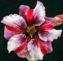 Load image into Gallery viewer, Adenium 'Taveesap Purple' Grafted Hybrid (1)