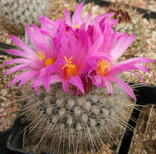 Load image into Gallery viewer, Thelocactus macdowellii