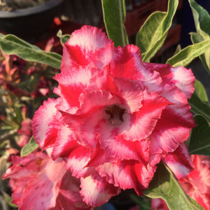 Adenium 'Triple Star' Grafted Hybrid (9)