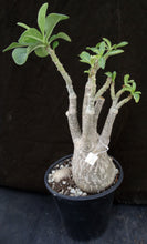 Load image into Gallery viewer, Adenium 'Moonlight' *Big Plants!* Grafted Hybrid (13)
