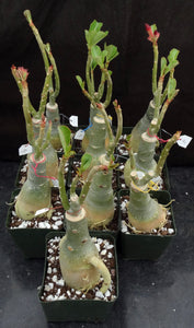 Adenium 'Black Lamp' Grafted Hybrid (3)