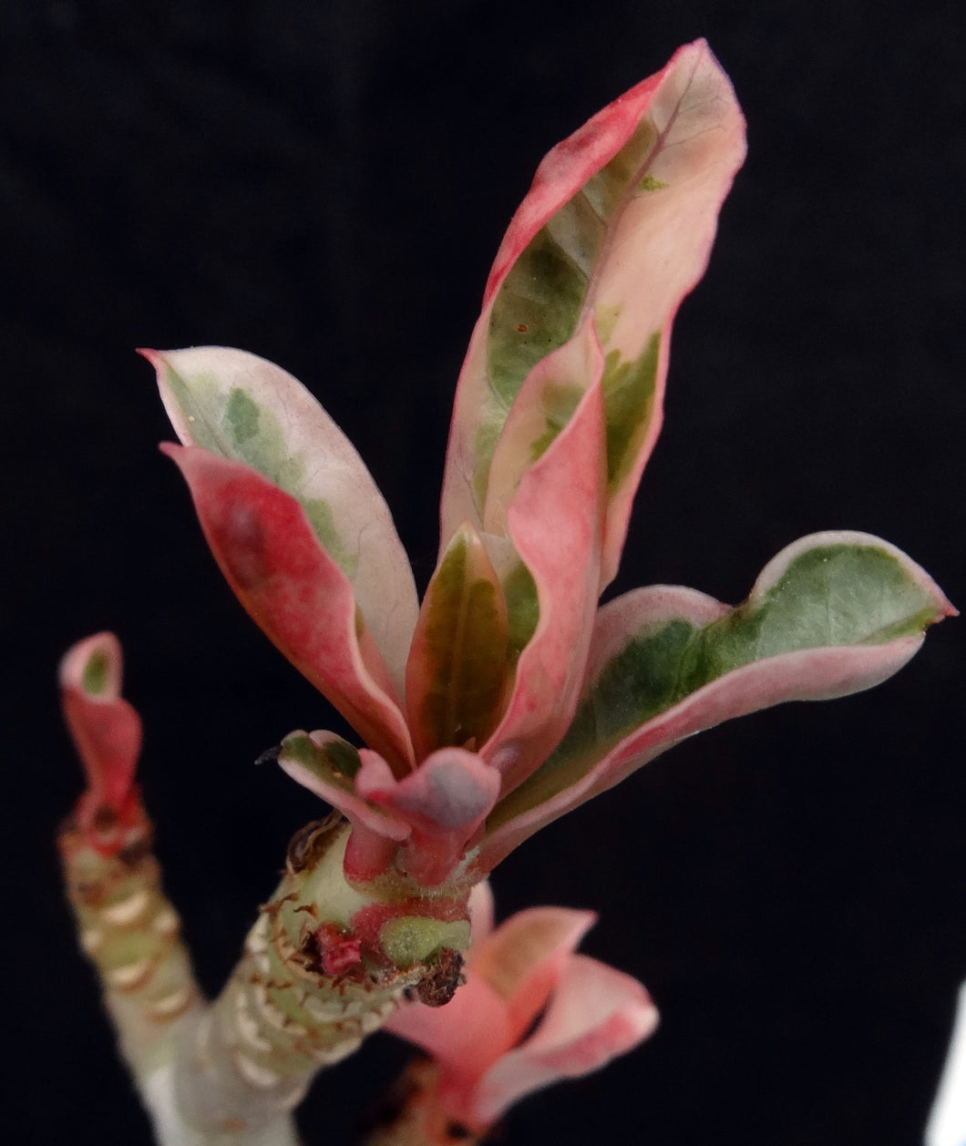 Adenium 'One in a Million Variegated' Grafted hybrid (6)