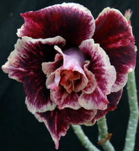 Load image into Gallery viewer, Adenium 'Golden Year' Grafted Hybrid (2)