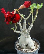 Load image into Gallery viewer, Adenium 'Black Rahoo' *Big Plant!* Grafted Hybrid (4)