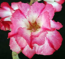 Load image into Gallery viewer, Adenium 'One in a Million Variegated' Grafted hybrid (6)