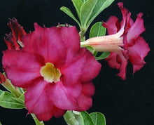 Load image into Gallery viewer, Adenium 'Burgundy' *Big Plant!* Grafted Hybrid (19a)