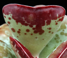 Load image into Gallery viewer, Adromischus maculatus 'Coral Hearts'