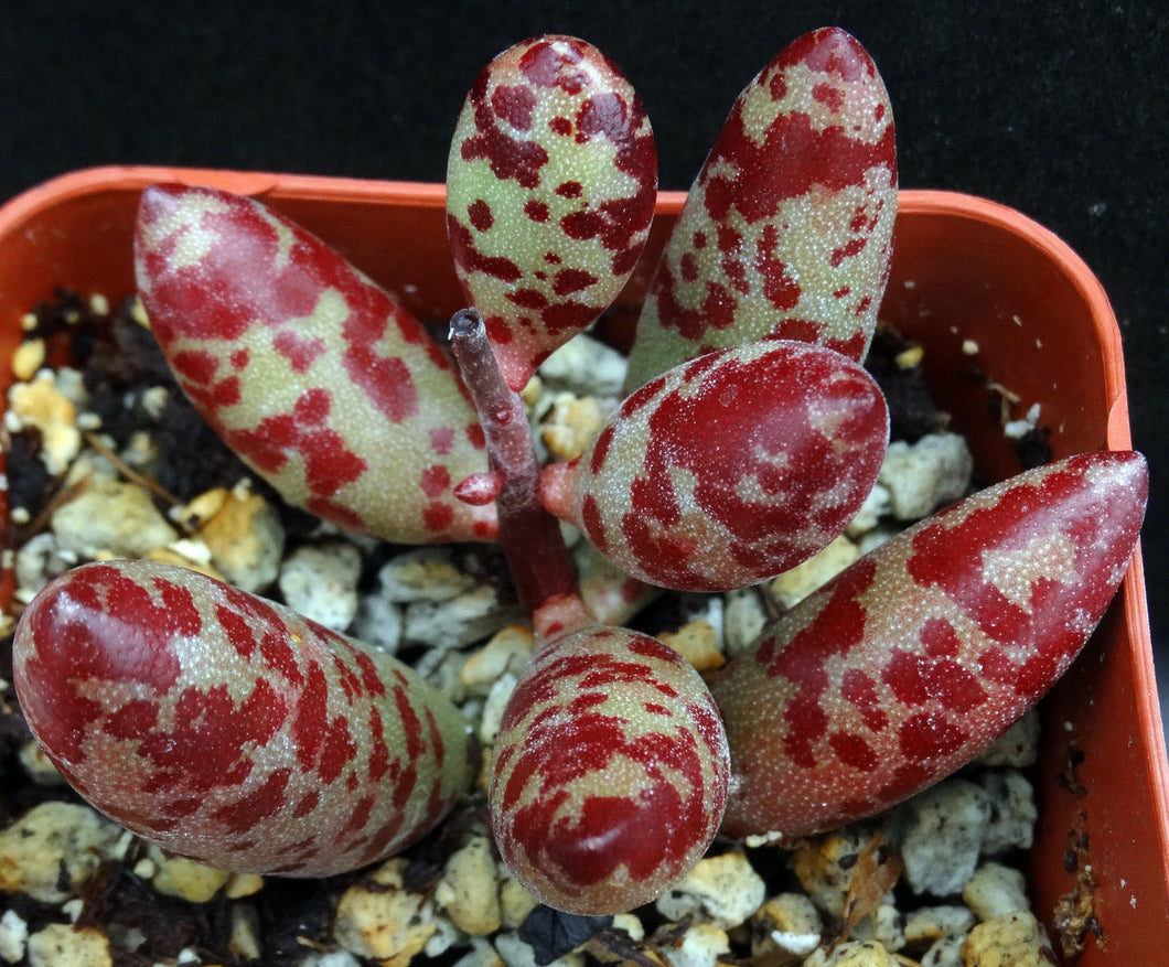 Adromischus filicaulis Red & green egg shaped leaves!