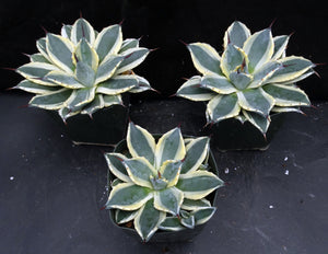 Agave patonii 'Cream Spike' Variegated