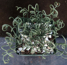 Load image into Gallery viewer, Albuca foetida