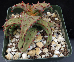 Aloe castilloniae Spiny leaf form