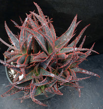 Load image into Gallery viewer, Aloe x 'Christmas Carol' Big Plants!