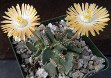 Load image into Gallery viewer, Aloinopsis malherbei