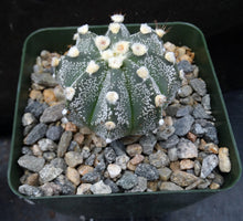 Load image into Gallery viewer, Astrophytum asterias X capricorne (C)