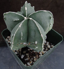 Load image into Gallery viewer, Astrophytum myriostigma 'Fukuryu' (B)