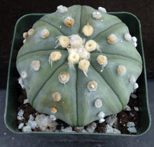 Load image into Gallery viewer, Astrophytum asterias 'Super Kabuto' (A)